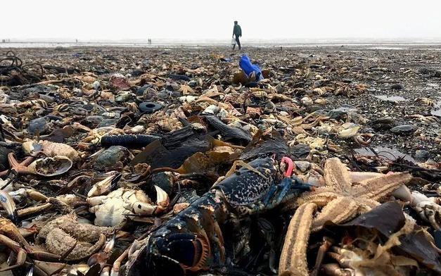 一场大风暴过后,英国海岸上刮来大量的海鲜,龙虾遍地都有!
