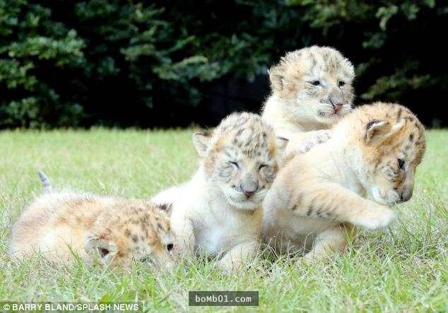 白狮子和白老虎顺利生出4只狮虎兽宝宝,萌样绝对把你融化!