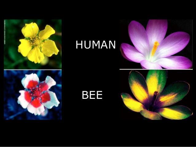 蜜蜂眼中的世界