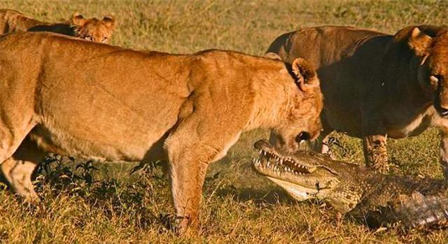 鳄鱼才漏出水面一张嘴,就被母狮子跳进了水里去咬它,开始它以为只有一只母狮子,还一点都不害怕,跟母狮子打了起来,但是当它看到边上还有两只母狮子也跳下水了后,顿时就慌了,开始想要潜水,但是很不幸的是,它被三只母狮子拖上了岸