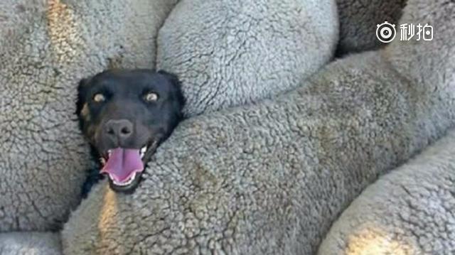 黑狗深陷羊群,它的表情让人笑喷!哈哈哈图片
