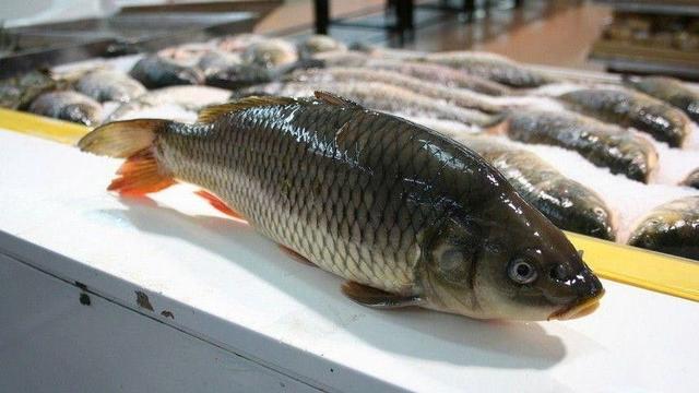 美国放出亚洲鲤鱼,看来它们在劫难逃
