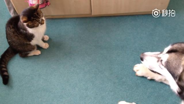 哈士奇对着猫傻叫,猫咪一会儿就嫌烦了