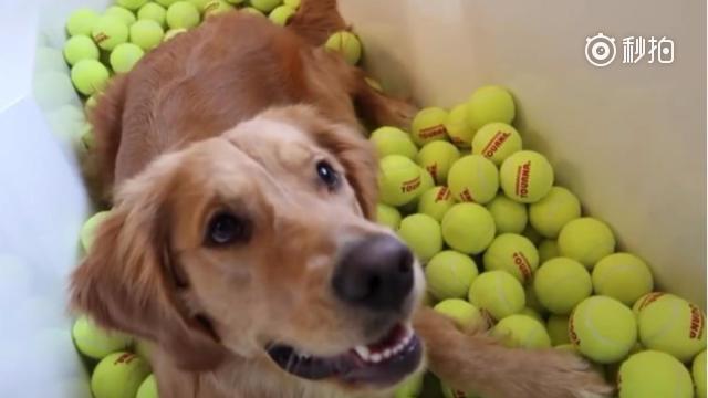 贪玩的金毛狗狗,看见一堆的球更是兴奋的不得了!