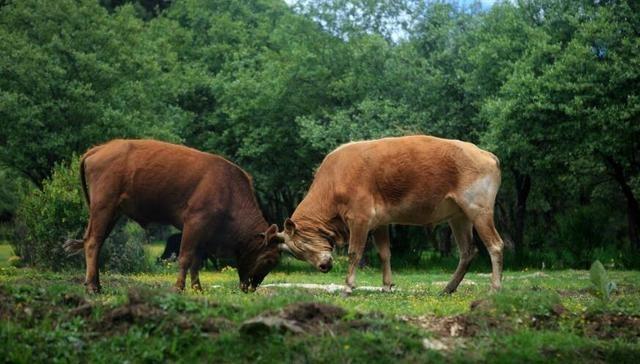 曹丕看到两只牛打架,让曹植作诗,不能有牛字,结果流传千年