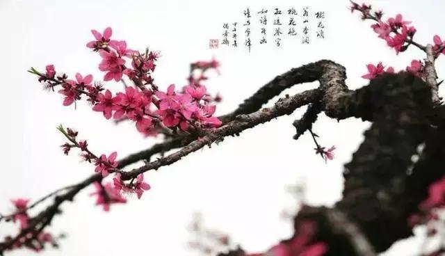 桃花枝干手绘高清图片