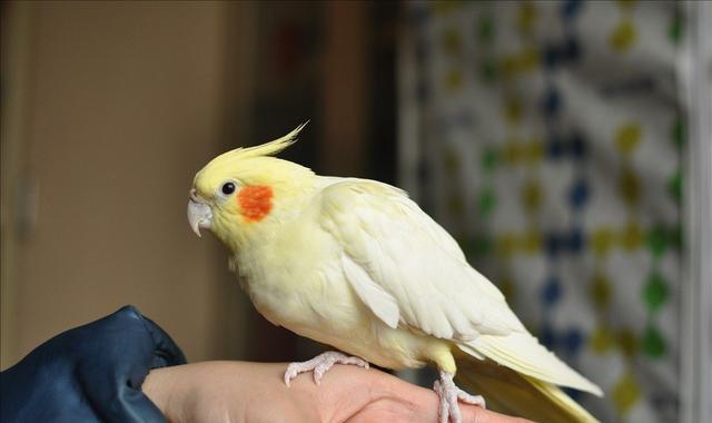 新手究竟应当选择养哪一种鹦鹉?