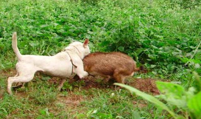它是中华犬唯一排名世界前三的猎犬,嗅觉和狩猎是天性