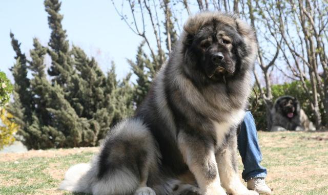 如何在一窝高加索犬中选出最好的一只呢,喜欢关注