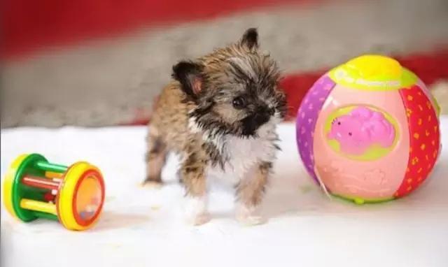 世界上最小的狗狗品种,不单可爱还超有个性的!