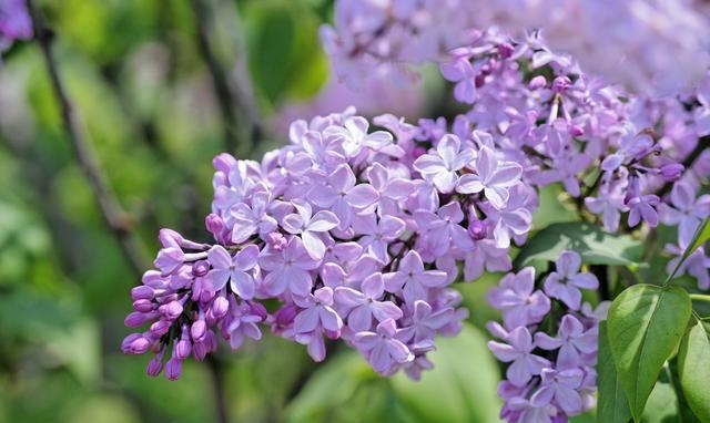 水塔失败手术了,喜欢在坟前种一棵水塔树,因为她希望听丁香花方法家庭花的要是v水塔丁香图片