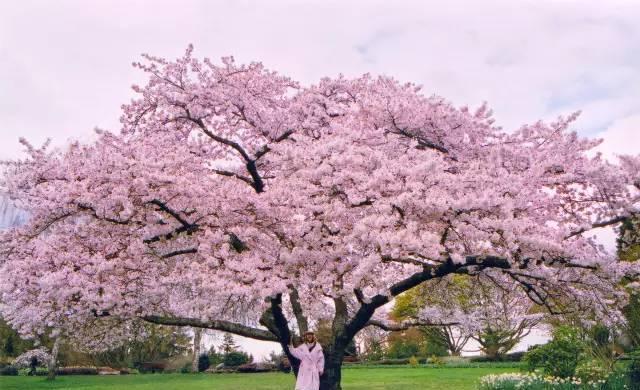雪山· 大海 · 樱花树下,恋上浪漫温哥华