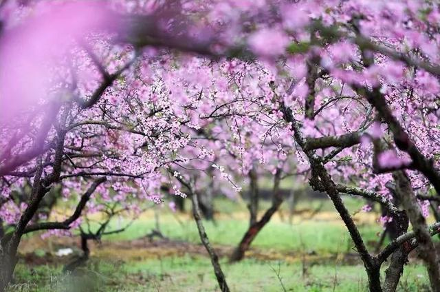 桂林周边万亩桃花,梨花,李花同时盛开,三花尽赏,简直美爆了!