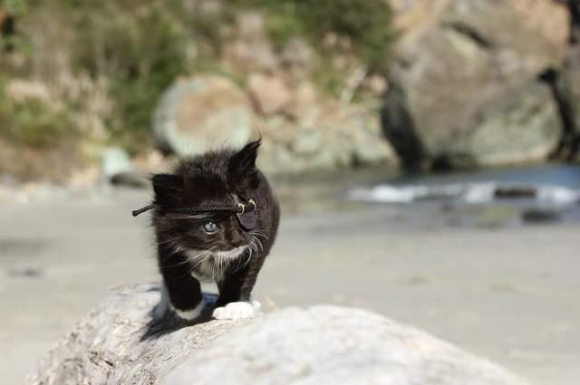 可怜又可爱的海盗猫刀疤,有着跟名字不符的萌萌脸