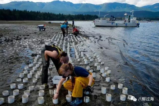滩涂插管管的美国象拔蚌养殖,海底埋雷的加拿大象拔蚌增殖
