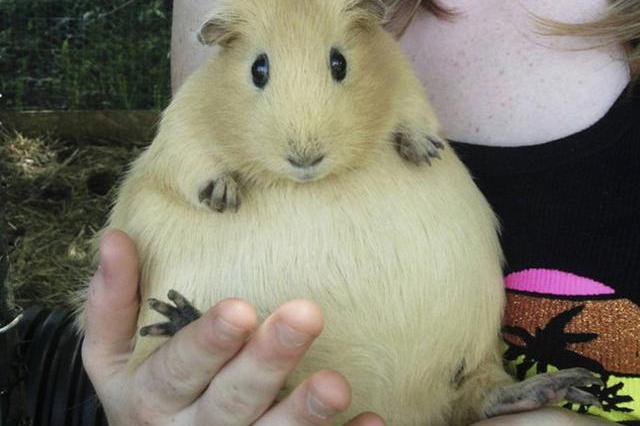 7,怀孕的小仓鼠真的很可爱哟,黑色呆萌呆萌的.眼神的大肚子蜘蛛图片