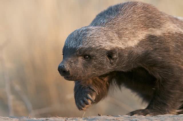 都说平头哥很厉害,那么平头哥蜜獾的战斗力到底有多强?