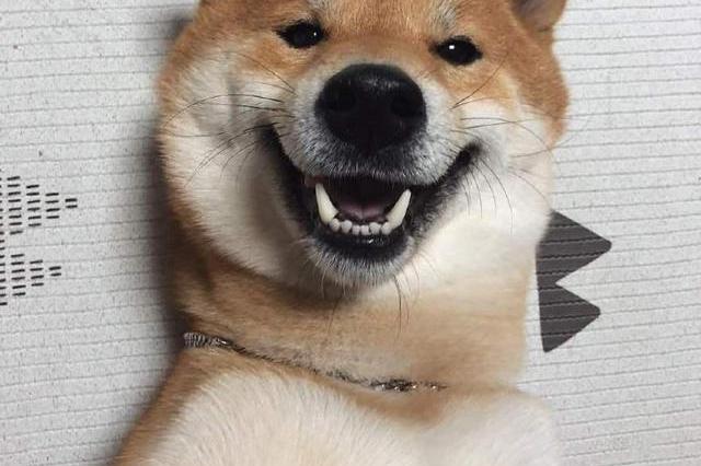 不愧是汪界表情包之祖,柴犬贱萌的微笑可以说是独一无