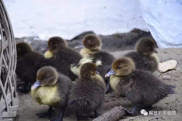 农村人养的小鸭子,贼可爱,城里人尽然不肯拿来当宠物