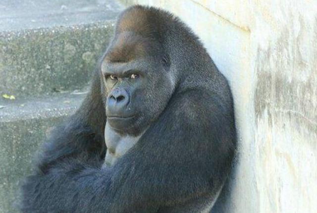 游客有动物,黑猩猩模仿动作情感游客,表情看后哭笑不得鲍勃好用情趣套那种图片