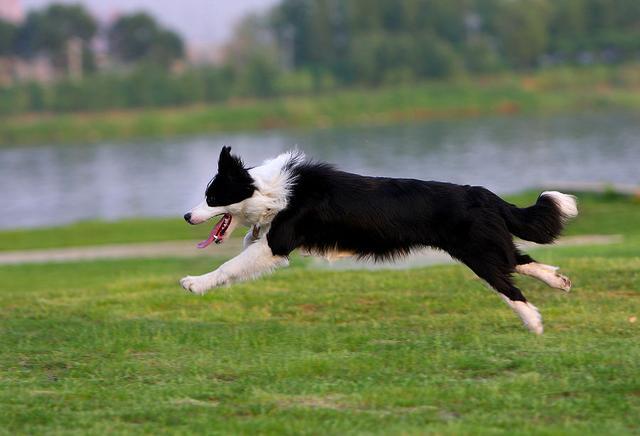 边境牧羊犬是一种原产自苏格兰和英格兰边界一带的牧羊犬,主要协助