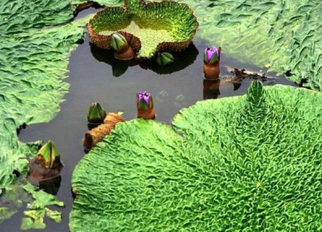 在乡村的很多池塘里长着像鸡头相同的植物,它们但是一大甘旨,很多人图片