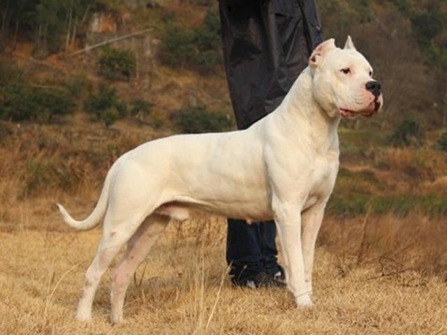 这种狗是天生的猎犬,狩猎美洲狮,打猎异常强悍!|杜高