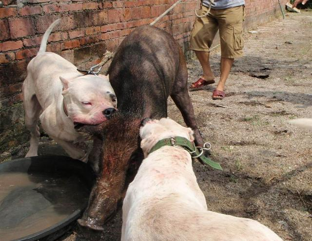 野猪的天敌 阿根廷杜高犬价格 杜高犬吃什么比较好