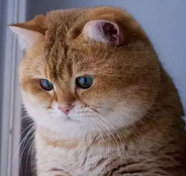 短短半年时间,橘猫就胖出天际了,橘猫:我也很绝望!