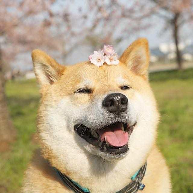 哈哈,丰富的表情包 柴犬中华田园犬忠犬八公宠物图片