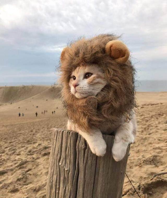 网友家的猫咪,明明就是一只可爱的猫,却被主人撸成了小狮子.