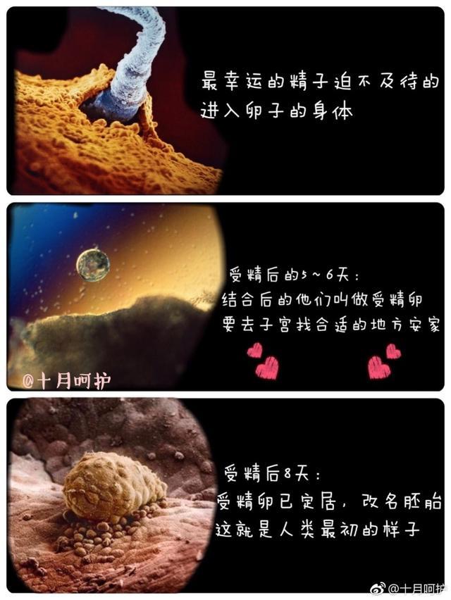 最全的胎儿发育图,为你展示生命萌芽成长的整个过程图片
