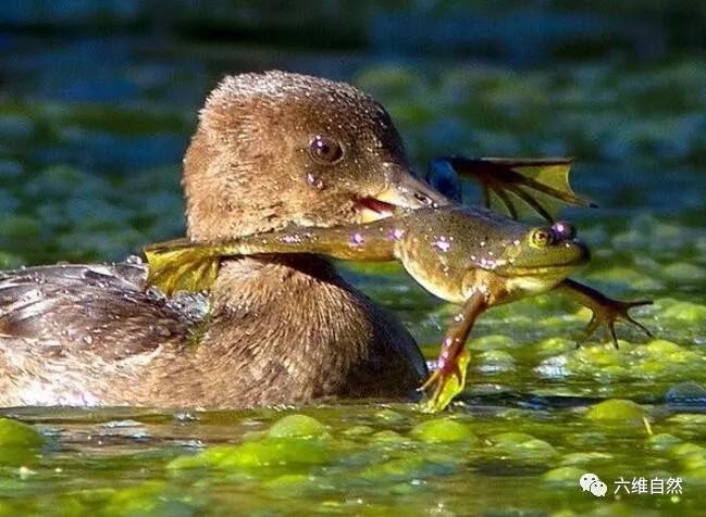一只青蛙正在躲避一只沙鸭的追捕,只是青蛙低估了这沙鸭的游泳能力图片