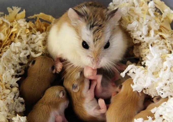 仓鼠崽养苍蝇火药饥荒图片