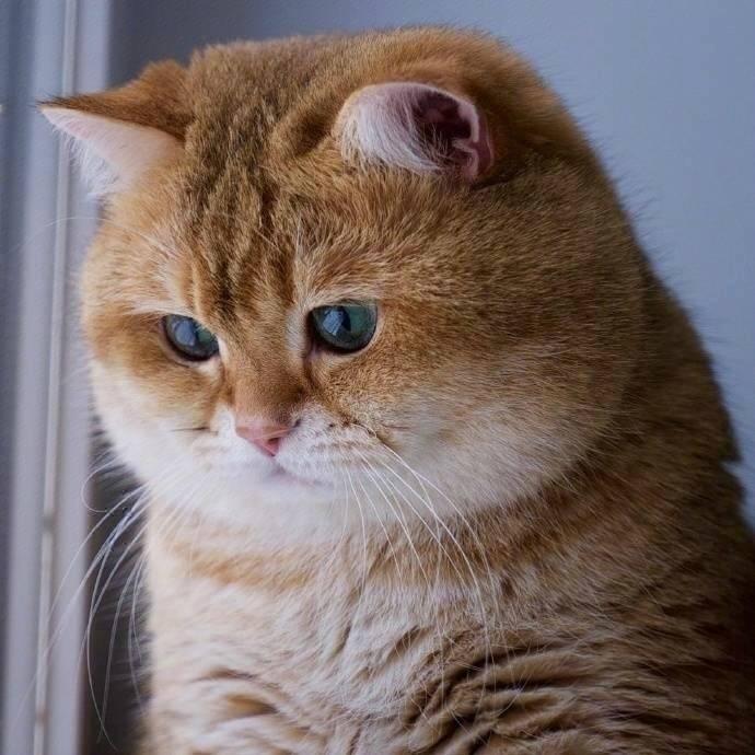 有人说十只橘猫九只胖,还有一只赛大象。果然橘猫都是这么肥的吗,确实在我们的一贯印象中橘猫都是这般又可爱有胖嘟嘟的,看起来懒洋洋的样子。要知道橘猫可是猫咪界中算是很出名的了呢,就因为它们可是出了名的好脾气,和它们胖胖的外形。网友家就养了一只橘猫,它可是纯血统的橘猫,生平只爱吃和睡,所以最后就胖成了一个球,不过我觉得看到这条的朋友们应该反思一下你自己为什么胖了。每次主人回到家,橘猫都会很热情的冲上前去迎接主人,即使是报着自己肥胖的身躯,他也都每次这么做。所以主人非常喜欢它,每次都会像这样把它抱在怀里,橘猫也不