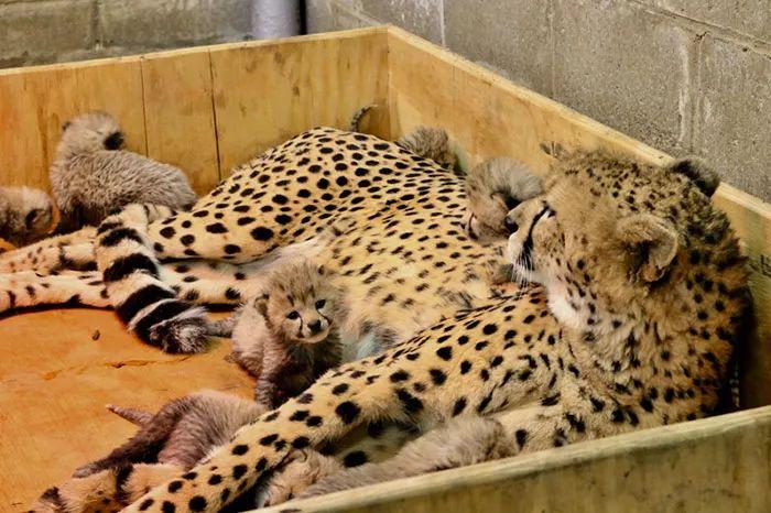 豹妈一胎产下八胞胎,网友:豹妈真勇敢