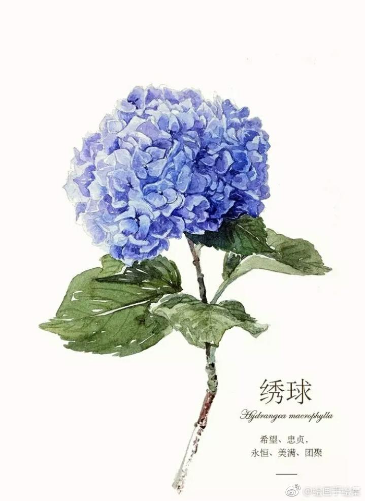 水彩手绘过程图,绣球花绣球花的花语:希望,忠贞,永恒,美满,团聚