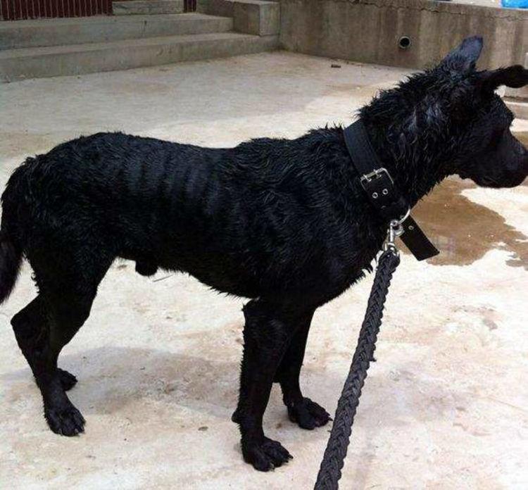 大黑狗与美女-播放_大黑狗因放养走失,主人绝望询问流浪狗朋友,第二天狗狗就回来了