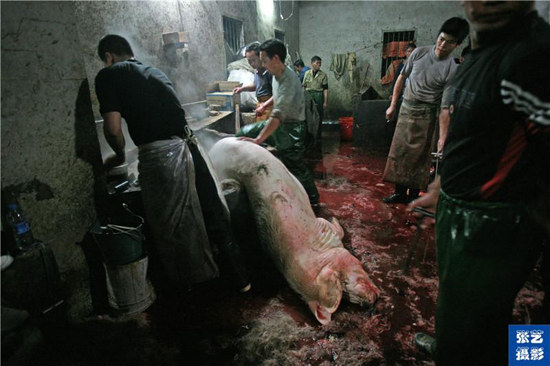 屠宰场的杀猪,大肥猪嚎叫着,地上一片血迹,杀猪师傅们都围着围裙,七手