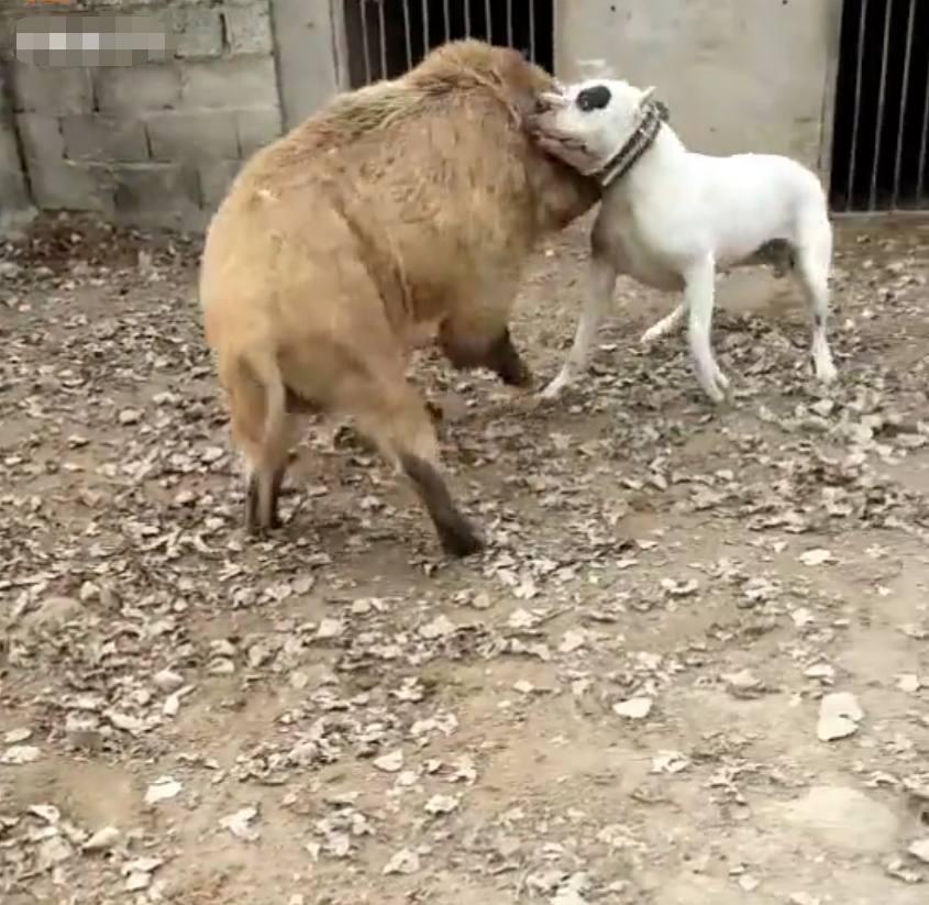 农民鸡场里来了一只野猪捣乱, 一只杜高犬大战野猪