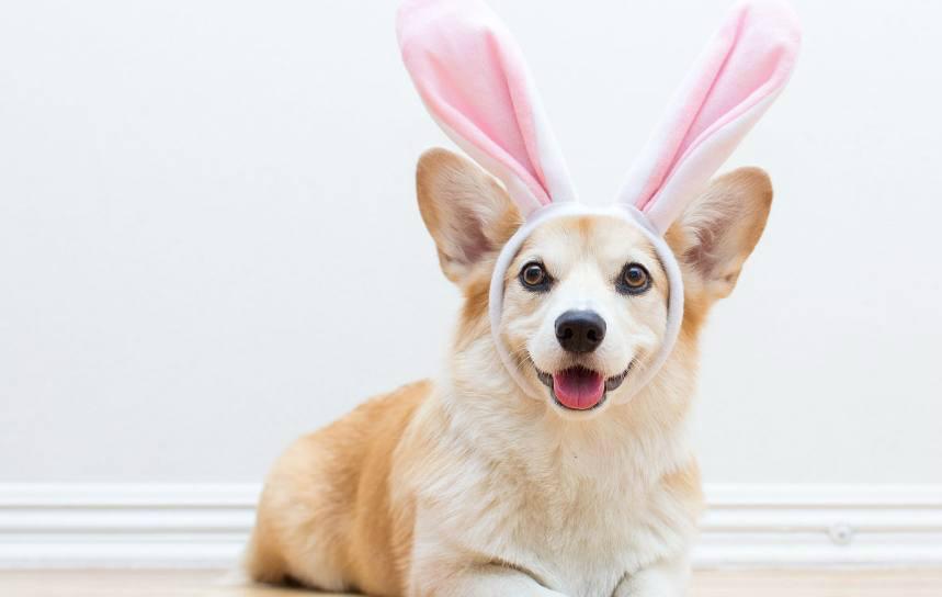你只知道柯基屁股大,耳朵长的像大师,你知道不画兔子的蚂蚁图片