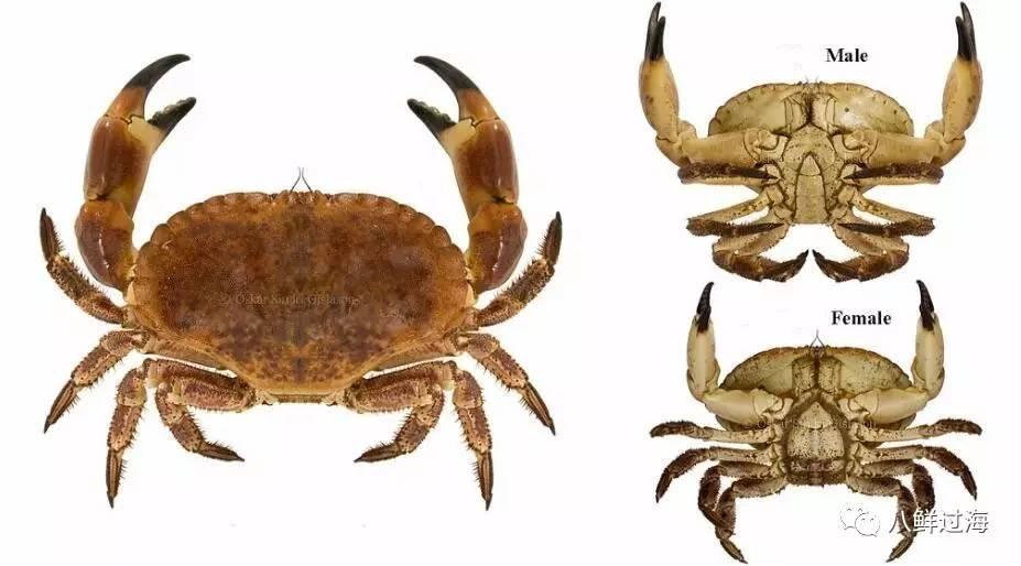 """面包蟹:满腹""""黄金""""的肥美之蟹,从生态捕捞到科学加工!"""