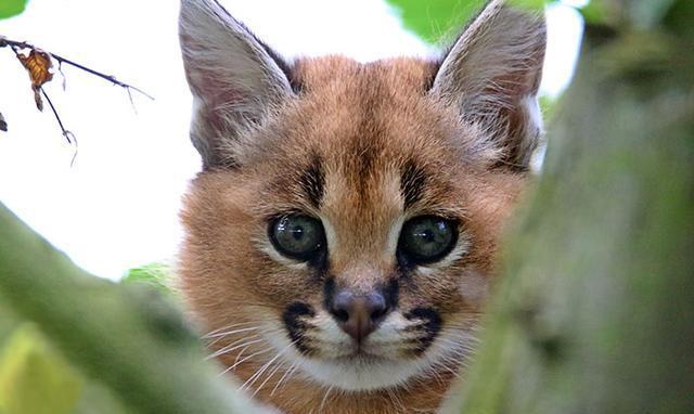 它就是世界上最可爱的猫种,浓眉大眼萌到连古埃及人都