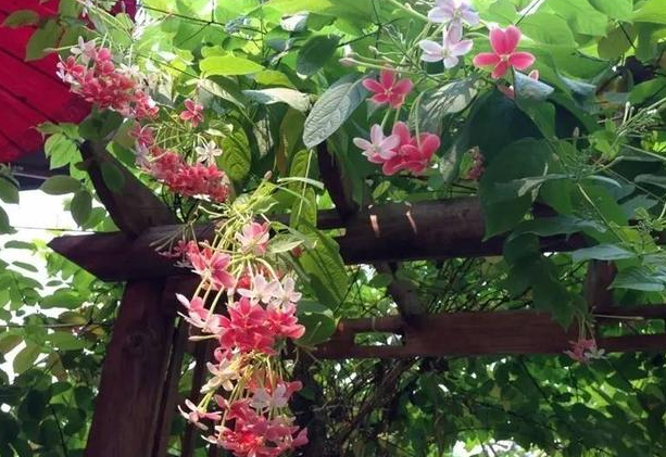 20种开花藤蔓植物大推荐!种在阳台,美出天际!