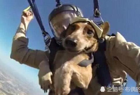 三千米高空跳伞,军犬表情淡定依旧,兵哥都自叹不如图片