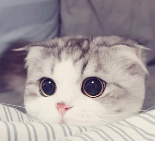 折耳猫是最可爱,也是最可怜的喵星人!
