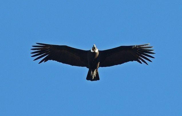 安第斯神鹫是玻利维亚,智利,哥伦比亚和厄瓜多尔等国的国鸟,也是国旗