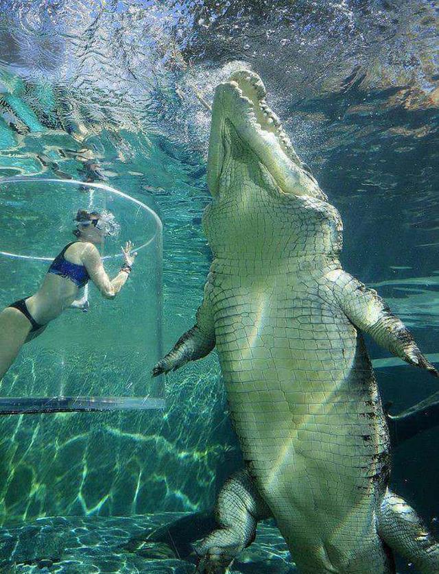鳄鱼可以长到多大?