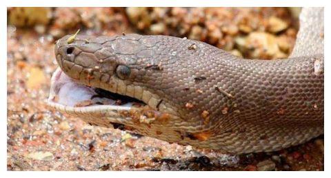 蛇鳄大战:巨蟒吞下近2米长的鳄鱼经过一番打斗后鳄鱼最终还是死