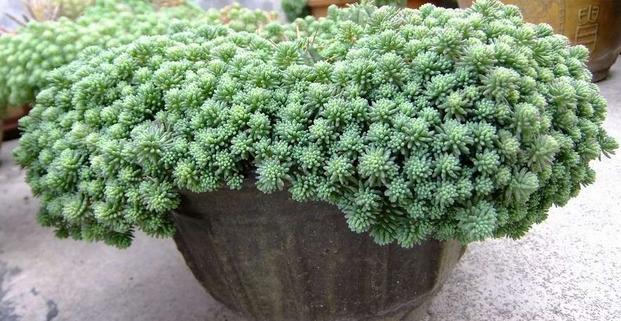 这四种盆栽,易养漂亮,好爆盆,家中首选